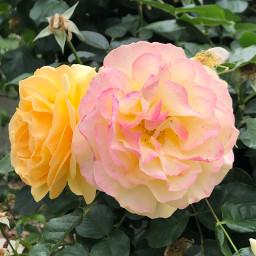 rosespink roses pinkroses freetoedit