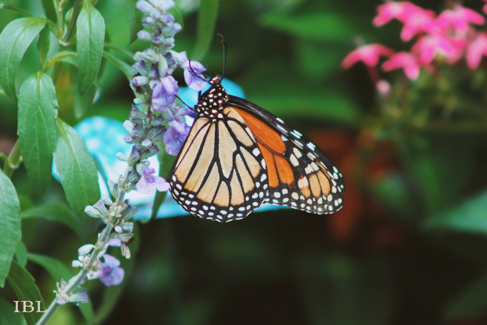 #freetoedit #nature #colorful #photography #flowers #thingsinmybackyard #butterfly #butterflylove #vividcolor #monarchbutterfly #monarch