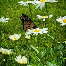 freetoedit monarch butterfly nature flowers