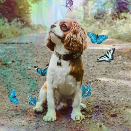 freetoedit dog ted teddy tedthecavalier rcholographicbutterflies