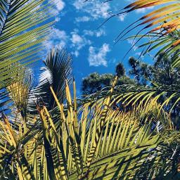 nature lookingup trees palmtrees pinetrees freetoedit