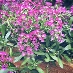 flower flowers backyard minnesota june29 freetoedit