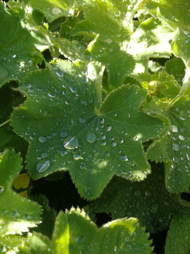 #green #leaves #leaf #water #drops #waterdroplet #waterdrops
