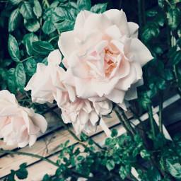 freetoedit flowers whiterose