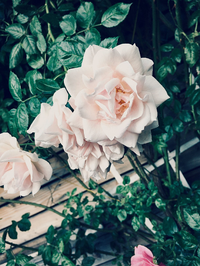 #freetoedit #flowers #whiterose Thank you for 10 followers💚