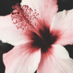 nature flower hibiscusflower pinkhibiscus darkbackground freetoedit