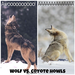 howl howlingwolf wolfhowling coyote nature