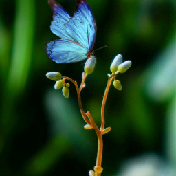 bluebutterfly nature macrophotography