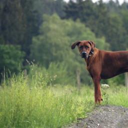 dogs ridgeback mydog dogsofpicsart dogwalk