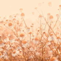 summertime nature wildflowers chamomileflowers simpleflowers freetoedit