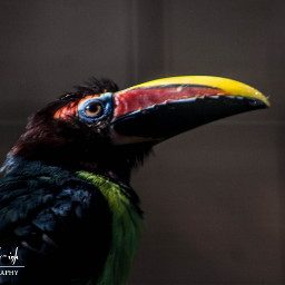 freetoedit photography bird toucan nature