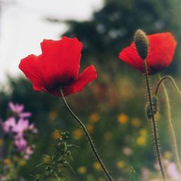 nature flowers simpleflowers poppies bluredbackground freetoedit
