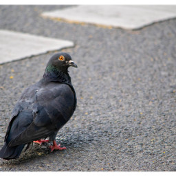 pigeon bird street animal freetoedit