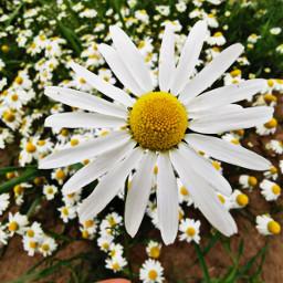 flower daisy daisyflower closeup outandabout freetoedit