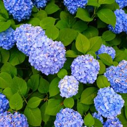 hydrangeas 紫陽花 pctwohues twohues