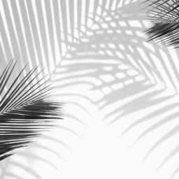 freetoedit srcpalmtreeshadow palmtreeshadow