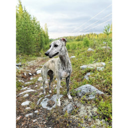 whippet love outdoor animal sighthound