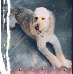 freetoedit goldendoodle cute dog pet