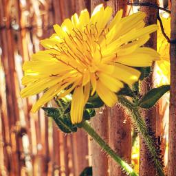 freetoedit dandelions fence bamboo yellow