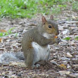 freetoedit squirrel animal wildanimal forestanimal