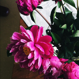 freetoedit myphoto myphotography flowers peonyflower pctwohues