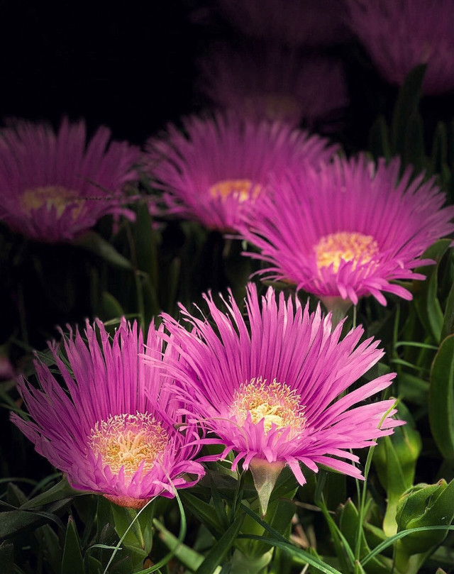 #nature #plantsandflowers #flowers #naturesbeauty #beachflowers #suculents #succulentflowers #wildflowers #depthoffield #naturephotography   #freetoedit