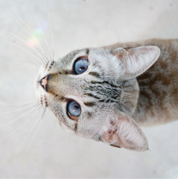 freetoedit cat love withe blueeyes