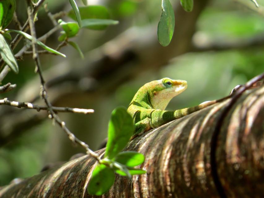#lizard #green #nature #invitations #photography #summer #animals #fun #freetoedit