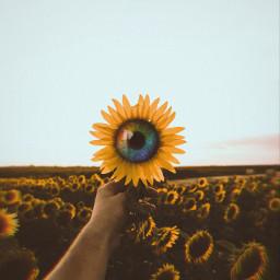 sunflowers rainboweyes freetoedit
