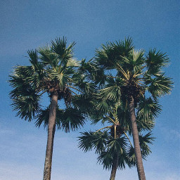 nature trees palmtrees skyandcloudsbackground summervibes freetoedit