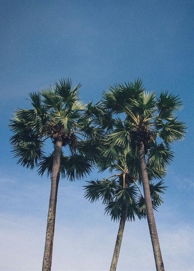 #nature #trees #palmtrees #skyandcloudsbackground #summervibes #simplicity #naturephotography   #freetoedit