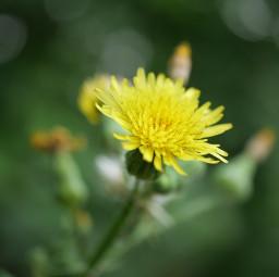 flower yellowflower naturalbokeh bokeh toneh freetoedit