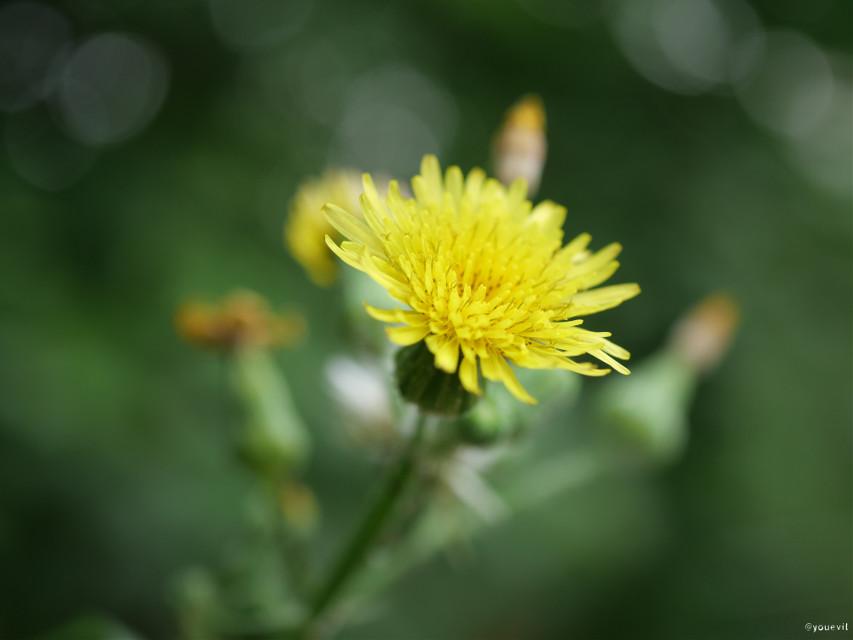 #flower#yellowflower#naturalbokeh#bokeh#toneh#simple#yellow#green #freetoedit
