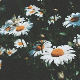 freetoedit flowers myphoto june