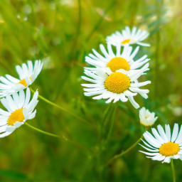 freetoedit flowers meadow nature myphoto