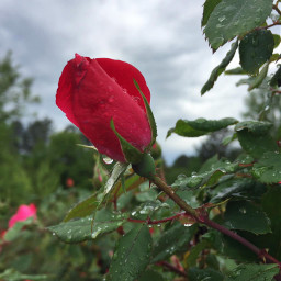 flowershoutout redrose raindrops keepitsimple123 cloudysky