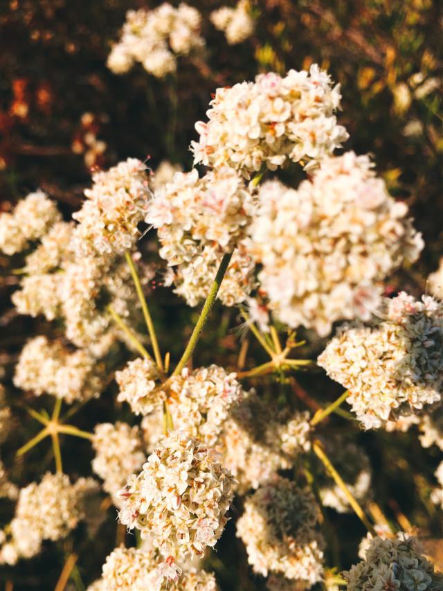 #blossom #flowerpower #beauty #hikelife #caligirl #hikingadventures #loveislove #nature #seeme #mood #mymind #myeye #bchez #photography #edit