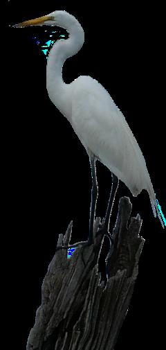 freetoedit heron whiteheron birds whitebird