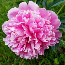 peony naturallight morninglight flowershoutout macro