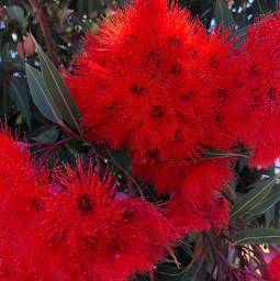 vermillion redflowers eucalyptus freetoedit