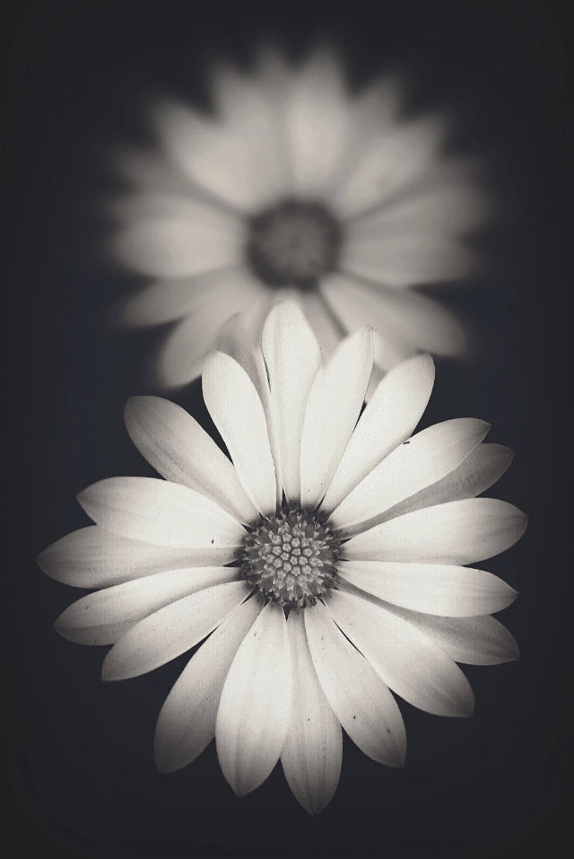 #flowers #nature #daisies #naturesbeauty #depthoffield #blackbackground #moodyedit #blackandwhitephotography   #freetoedit
