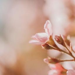 nature plantsandflowers flowers pinkflowers pinkaesthetic softcontrast depthoffield naturephotography freetoedit