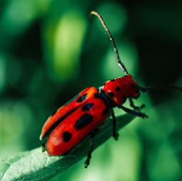 nature beetle longhorn insects longhornbeetle freetoedit