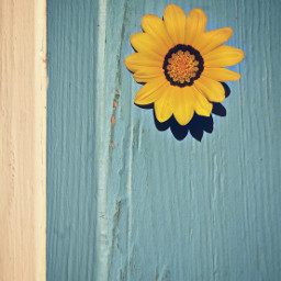 simpleyellowflower woodboard softgrungetextured minimalism threecolors summercolors sunnylightandshadows minimalphotography freetoedit