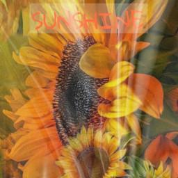 freetoedit @asweetsmile1 sunflower orange yellow flower beautiful simple nature replay challenge lovenature blendedimages blend rctextmessage textmessage