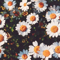 freetoedit whiteflower daisy daisyflower flower floral aethstic yallow white cute pretty beauty
