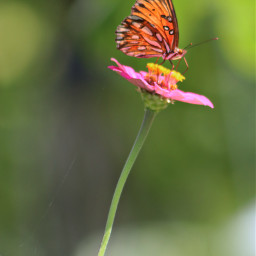 freetoedit nature colorful photography flowers butterfly butterflylove vividcolor gulffritillarybutterfly zinnia canonphotography