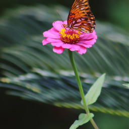 freetoedit nature colorful photography flowers butterfly butterflylove vividcolor zinnia canonphotography