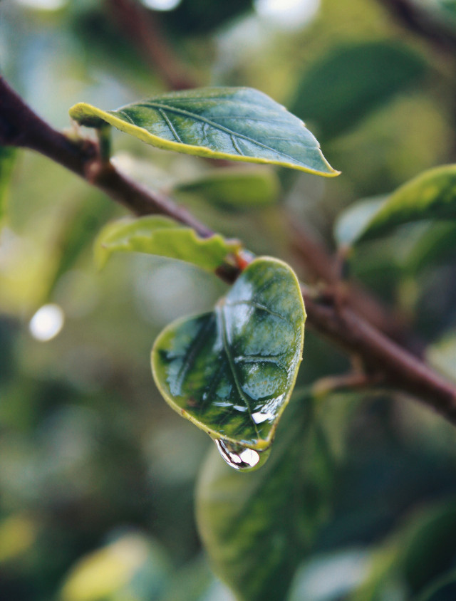 #nature #bushes #branch #simplenature #greenleaves #waterdroplet #depthoffield #naturephotography                                                                                           #freetoedit