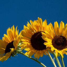 freetoedit photography sunflowers nature flowers